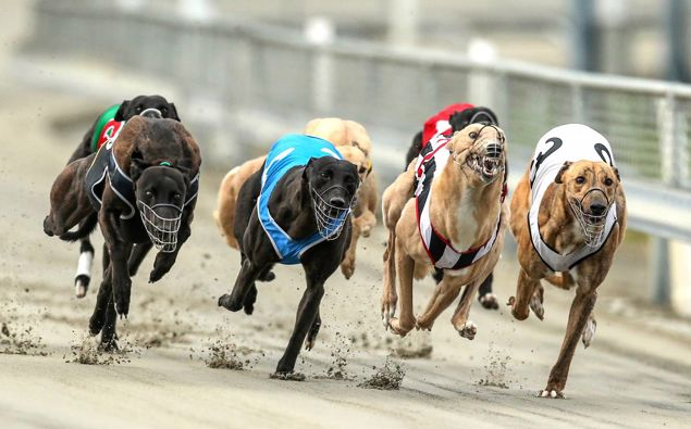 Greyhound racing at Addington last year. Photo / Photosport