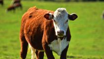 'Mad cow': 7-year-old seriously injured in cow attack was at adventure race