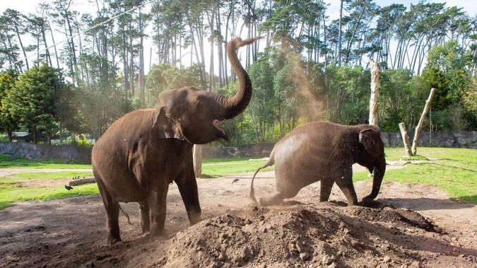 Elephants Anjalee (left) and Burma cool off with a dust bath Auckland Zoo under Covid-19 lockdown in April. Photo / File