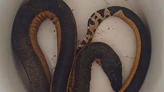 Highly venomous sea snake found alive on a Northland beach