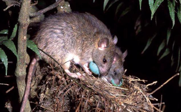 The fight continues to eradicate predators - including rats - from our environment. (Photo / Supplied)