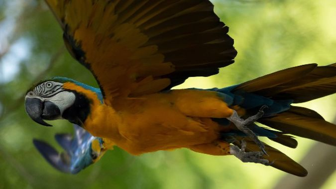 A blue-and-yellow macaw that zookeepers named Juliet flies outside the enclosure where macaws are kept at BioParque,