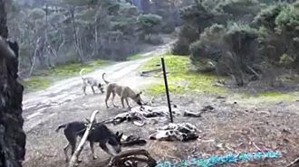Poisoned tampons used to kill feral dogs in Far North