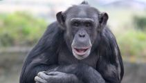 Much-loved chimp killed in attack