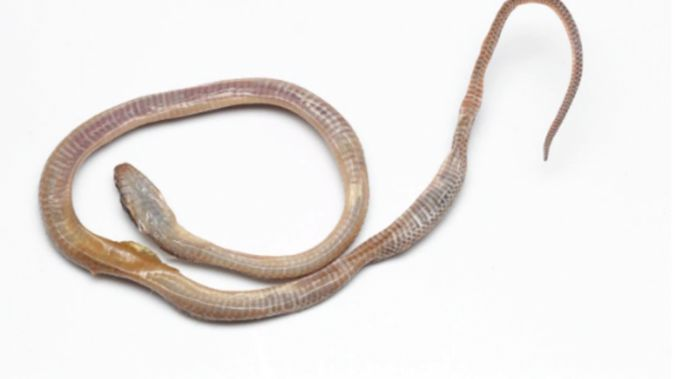 The juvenile Leptodeira ornate snake that was found at a Rangiora supermarket. (Photo / Supplied)