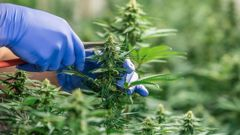 18 months since medicinal cannabis regulations came into force, and still no domestic medicines. With a grace period ending, legal medicines are now harder to get and pricier. Photo / Supplied