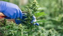 'Didn't get off their a****': Andrew Little unleashes on medicinal cannabis industry