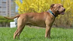 A tan pitbull attacked a woman, leaving her with life-long facial injuries. (Photo / 123rf)