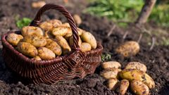 Potatoes are among some of the edible crops you can grow on Labour Weekend. (Photo / Getty Images)