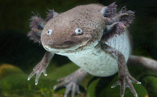 The axolotl has a slimy tail, plumage-like gills and mouth that curls into an odd smile. (Photo / Thinkstock)