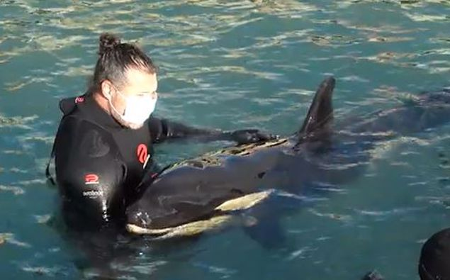 """Some locals have affectionately named the baby orca """"Bob"""" (Photo / Supplied)"""