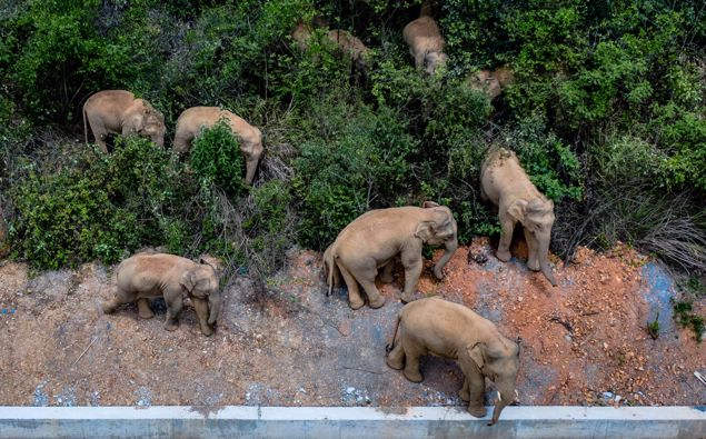 Monitoring images show that the herd includes six female adult elephants, three male adults, three sub-adults, and three cubs. (Photo / Getty)