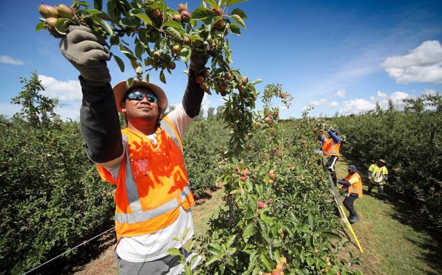 Seasonal workers from Samoa, Tonga and Vanuatu will be able to enter New Zealand to work from September. (Photo / Warren Buckland)
