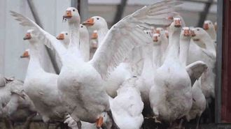 'Serious incident': Hamilton joggers injured by gaggle of geese at fun run