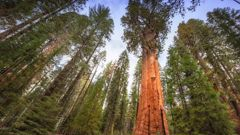 The General Sherman Tree. (Photo / Getty Images)