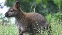 The war on wallabies using GPS, drones and dogs